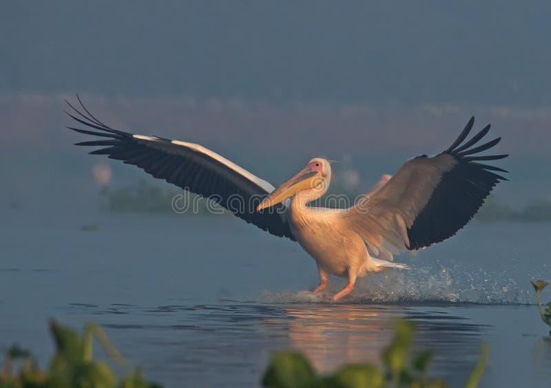 Pélican blanc photo stock