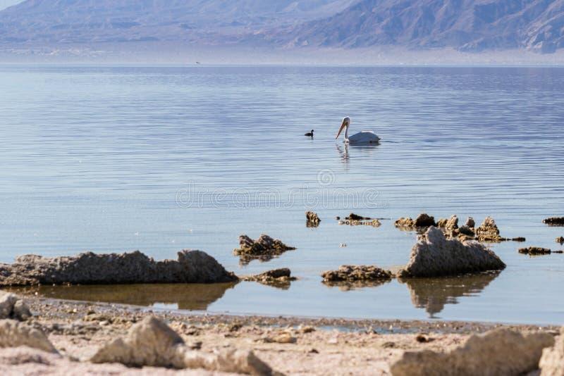 Pélican blanc américain (erythrorhynchos de Pelecanus) photographie stock libre de droits