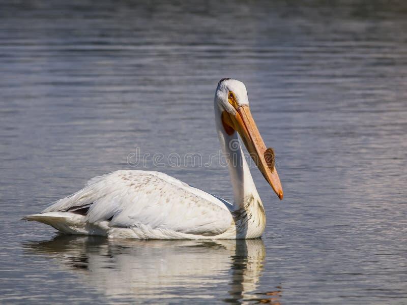 Pélican blanc dans Rocky Mountains images libres de droits