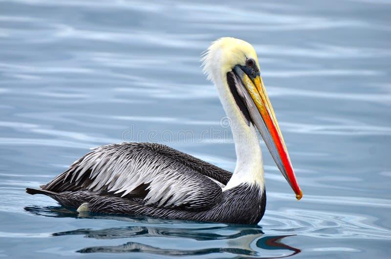 Pélican brun Pacifique Equateur en mer photo libre de droits