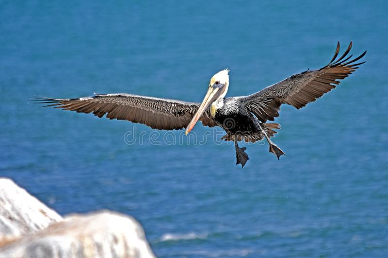 Pélican d'oiseau en vol photos libres de droits