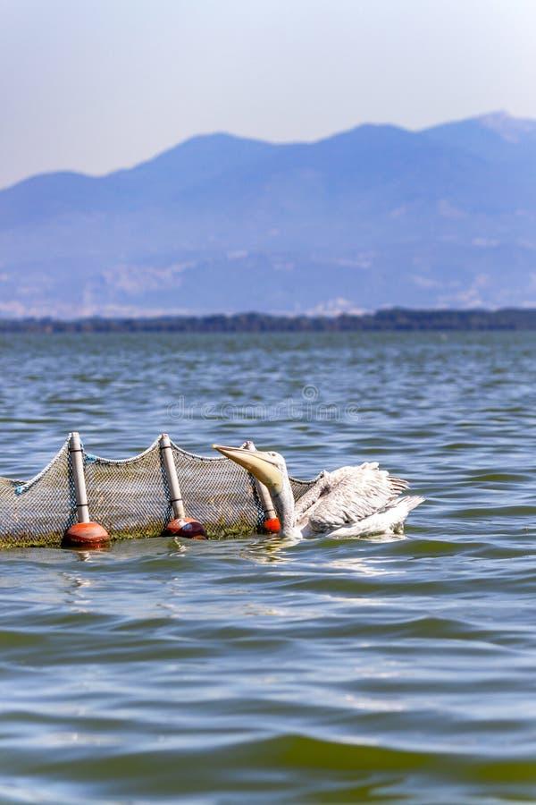 Pélican dalmatien pêchant à côté d'un filet de pêche, lac Kerkini, Grèce photographie stock