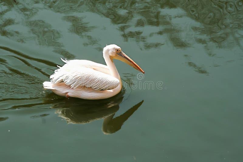 Pélican dans le lac photographie stock libre de droits