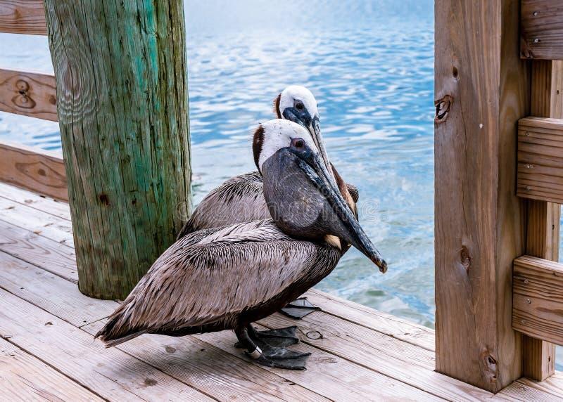 Pélican dans une marina sur l'île de Hatteras photo libre de droits