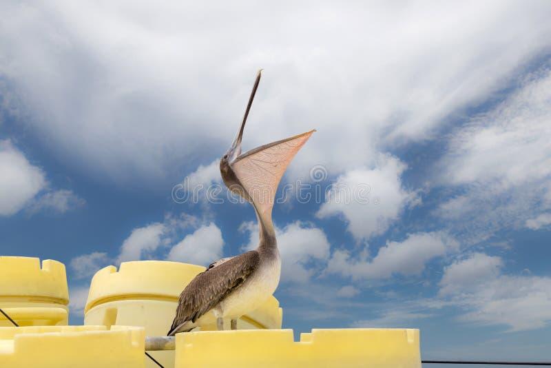 Pélican de Brown avec la bouche ouverte image stock