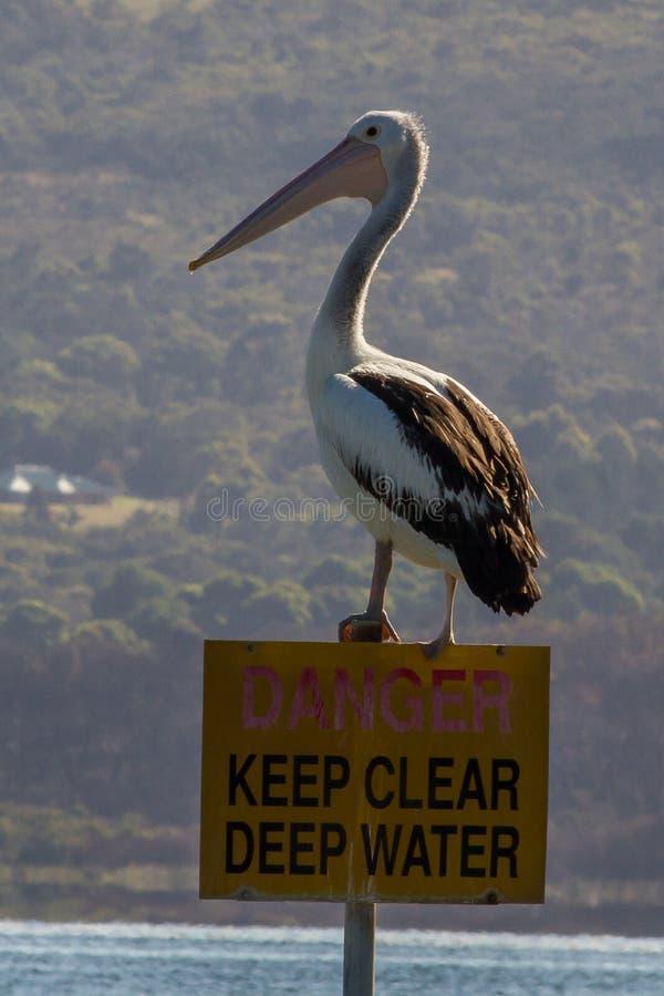 Pélican de l'Australie/Pelecanus Conspicillatus images libres de droits