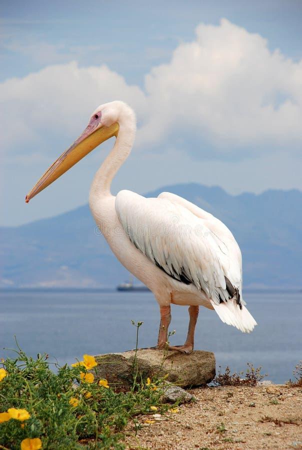 Pélican de Mykonos, Grèce photographie stock