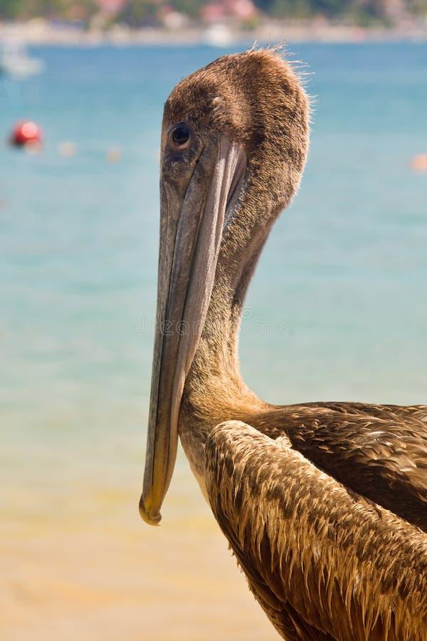 Pélican de plage dans le rivage photos libres de droits