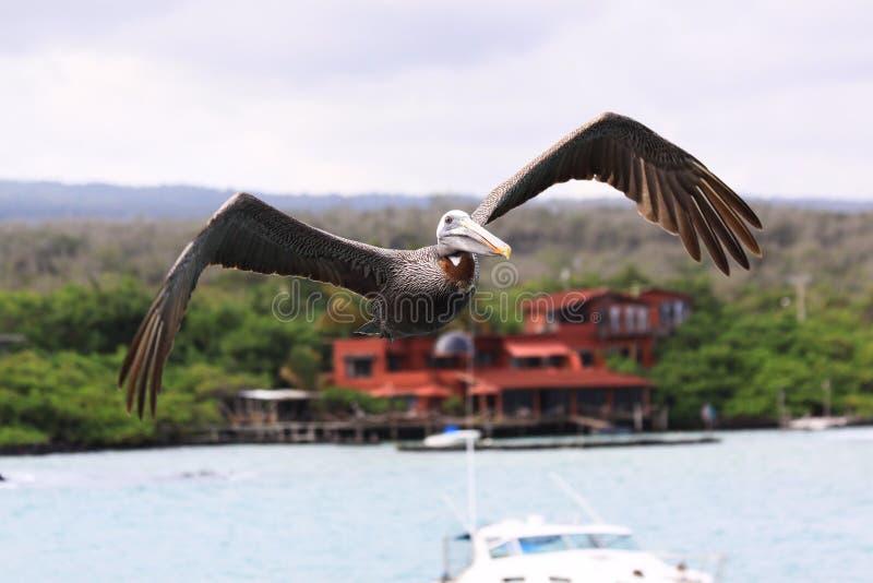 Pélican de vol photo stock