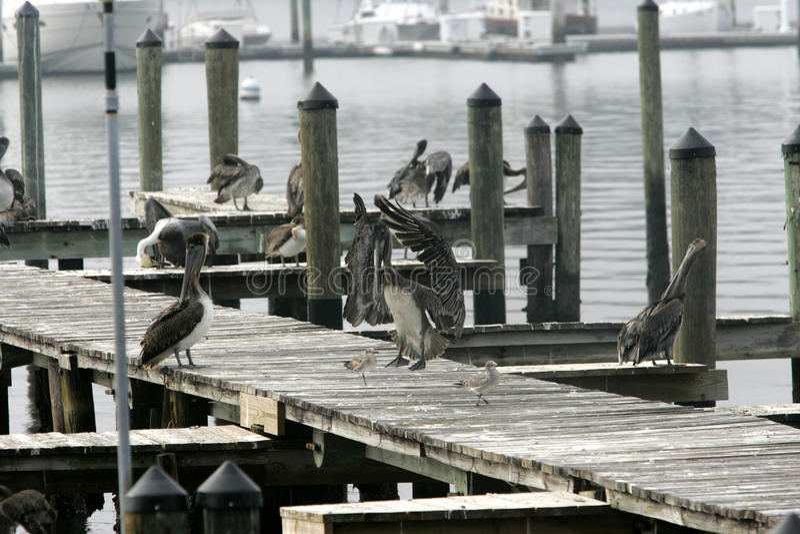 Pélican en Floride photo libre de droits