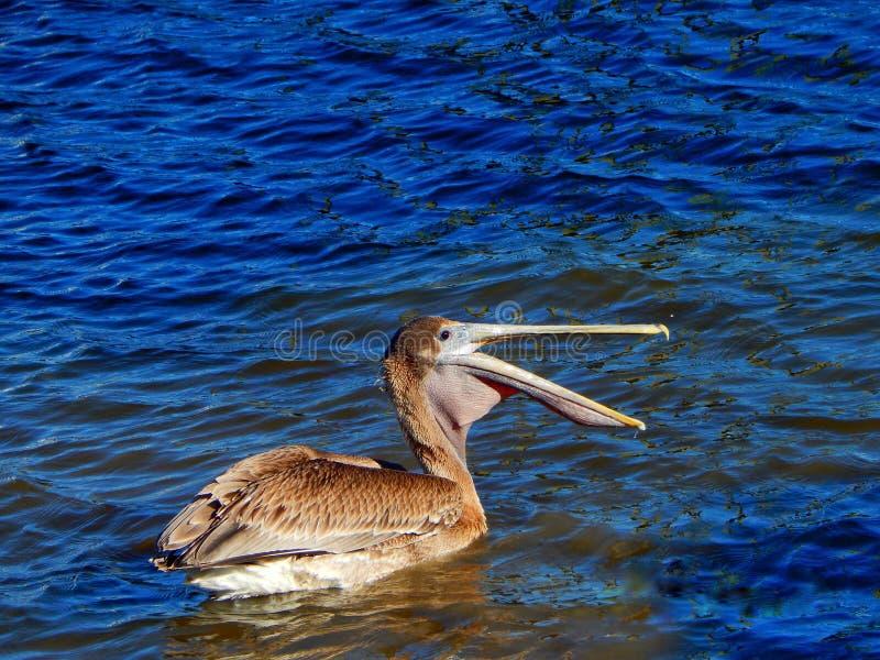 Pélican en rivière photographie stock