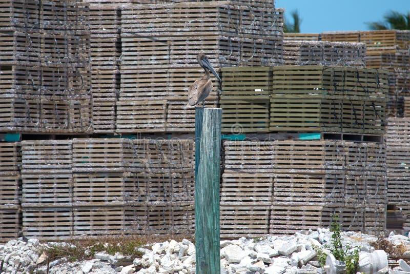 Pélican gris (philippensis de pelecanus) sur un poteau en bois contre t photographie stock libre de droits