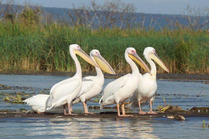 Pélican, lac Chamo, Ethiopie, Afrique photos libres de droits