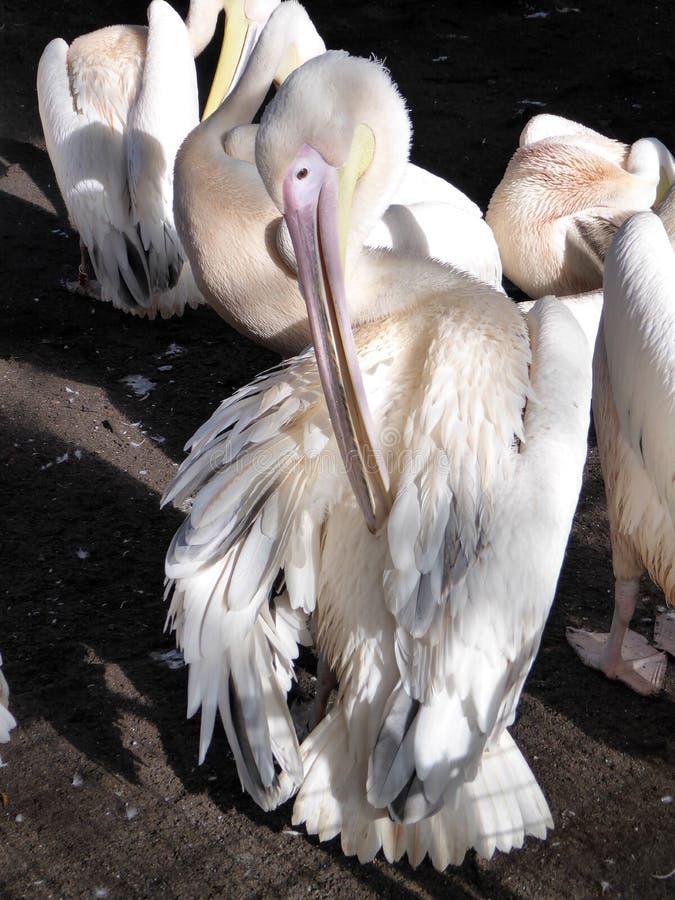 Pélican oiseau animaux La connaissance de la nature Avec les yeux de la nature photo libre de droits