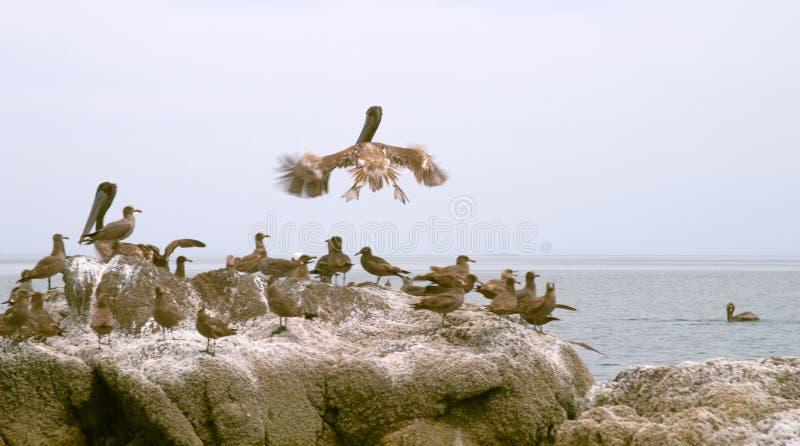Pélican (onocrotalus de Pelecanus) et oiseaux marins photo libre de droits