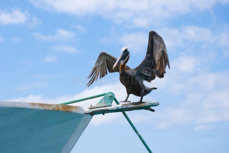 Pélican sur le bateau images libres de droits