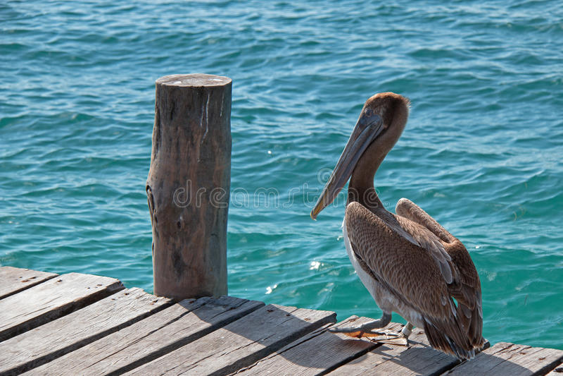 Pélican sur le dock de bateau sur l'île d'Isla Mujeres juste outre du littoral de Cancun du Mexique photos libres de droits