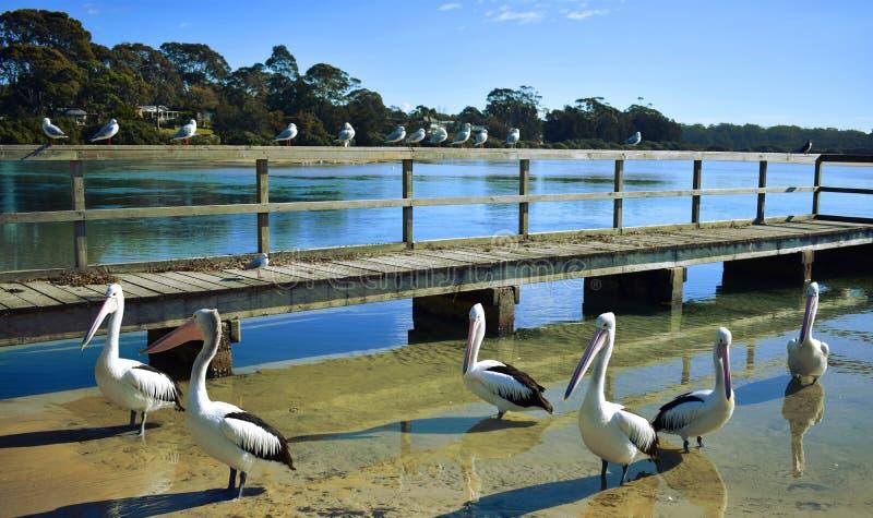 Pélicans à un quai image stock