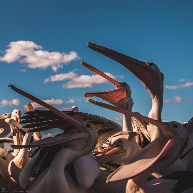Pélicans affamés à l'heure du repas à la lumière du soleil photos libres de droits