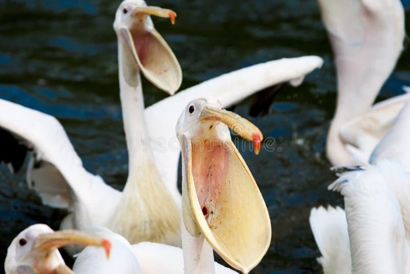 Pélicans affamés image stock