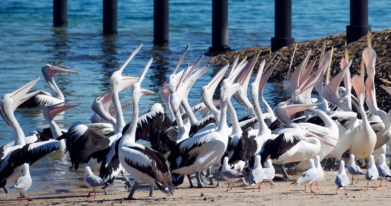 Pélicans affamés image libre de droits