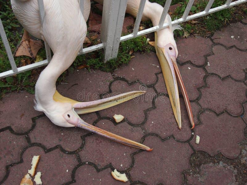 Pélicans affamés dans le grippage de zoo avec les morceaux de bec de pain photos libres de droits