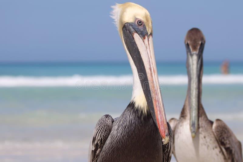 Pélicans au Cuba photographie stock libre de droits
