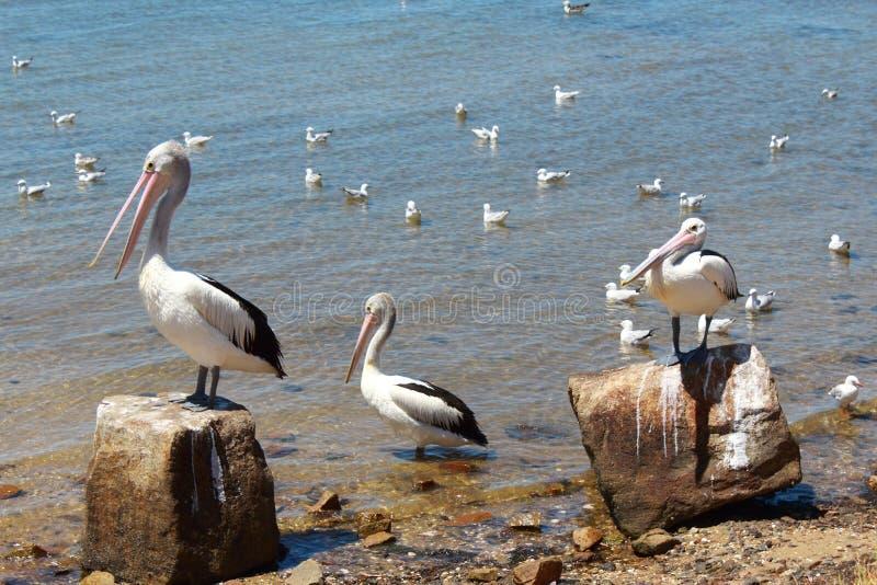 Pélicans australiens détendant à la lumière du soleil par la mer images libres de droits