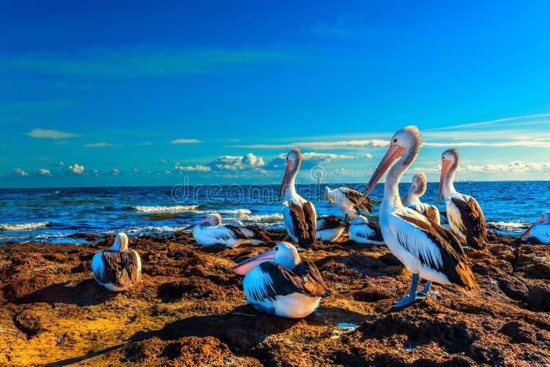 Pélicans australiens par la mer au coucher du soleil