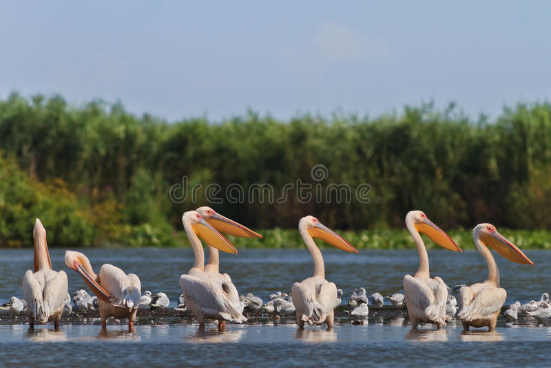 Pélicans blancs image stock