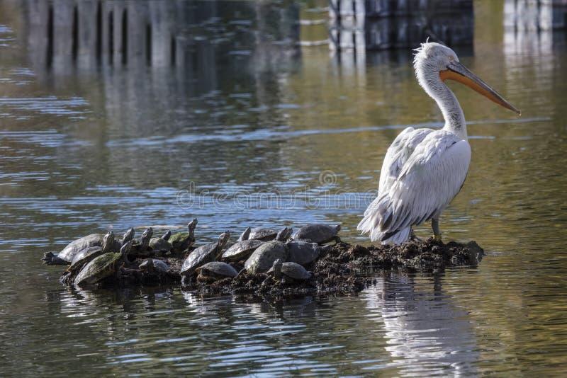 Pélicans blancs américains photo libre de droits