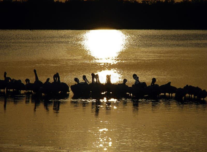 Pélicans blancs américains, Ding Darling Wildlife Refuge, Sanibel, la Floride images stock