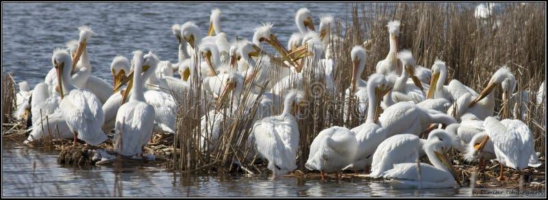 Pélicans blancs américains reposant d'ici peu le vol photographie stock libre de droits