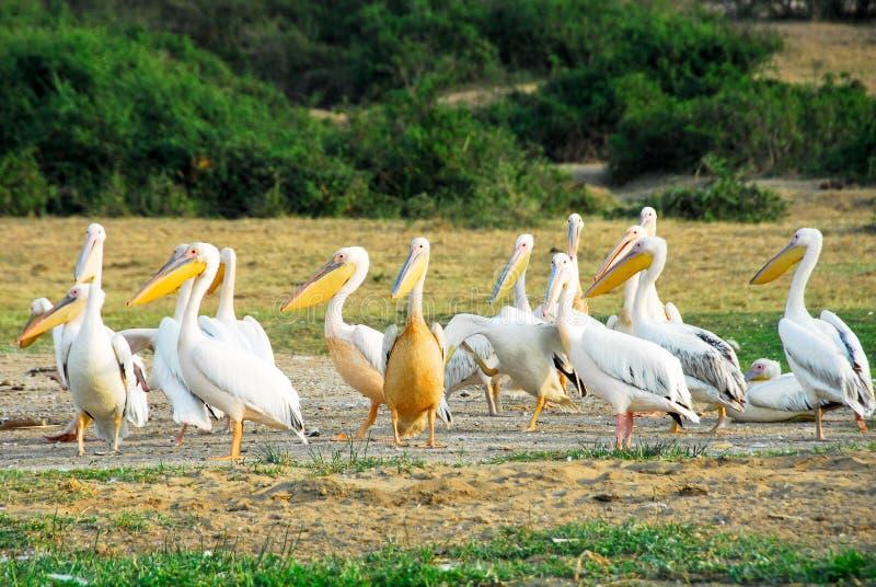 Pélicans blancs grands, la Manche de Kazinga (Ouganda) photos stock
