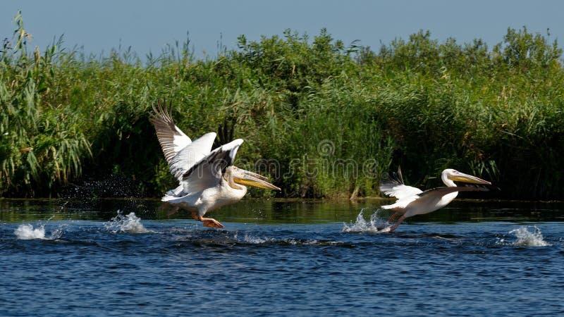 Pélicans dans le delta de Danube photo stock