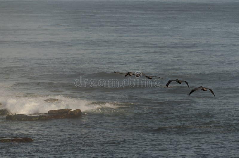 Pélicans de Brown volant au-dessus de l'océan pacifique à La Jolla, la Californie, Etats-Unis photographie stock libre de droits