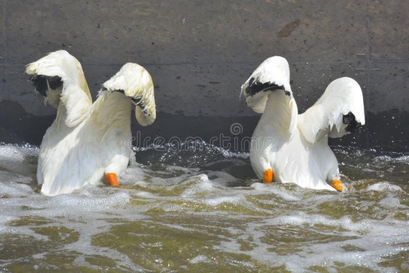 Pélicans de pêche images libres de droits