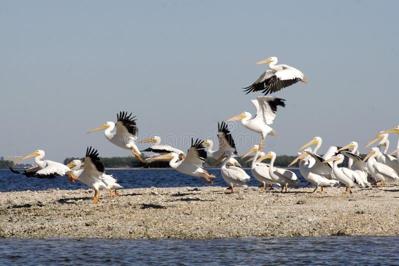 pélicans de plage blancs photo stock