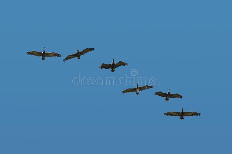 Pélicans en vol photo libre de droits