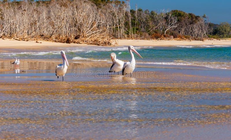 Pélicans et mouettes sur la plage images libres de droits