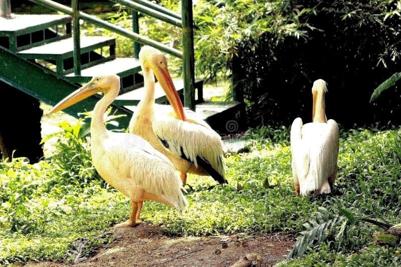 Pélicans indiens en parc zoologique photographie stock