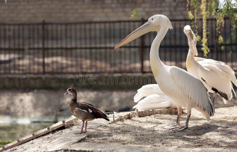 Pélicans mignons dans le jardin zoologique photos stock