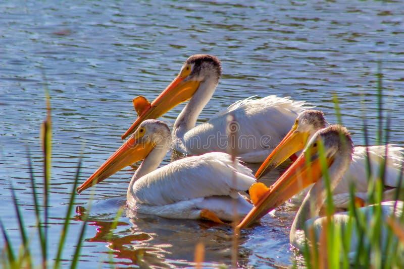 Pélicans nageant ensemble sur l'eau photos libres de droits