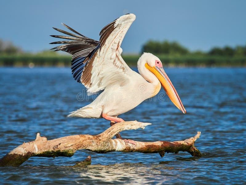 Pélicans sauvages dans le delta de Danube dans Tulcea, Roumanie photographie stock