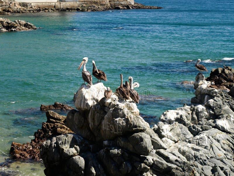 Pélicans sur la plage photos libres de droits