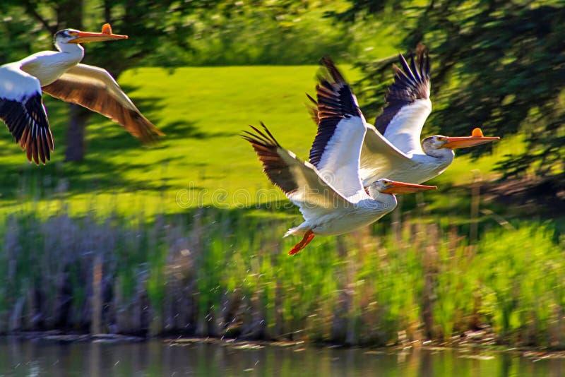 Pélicans volant dans le ciel photo libre de droits