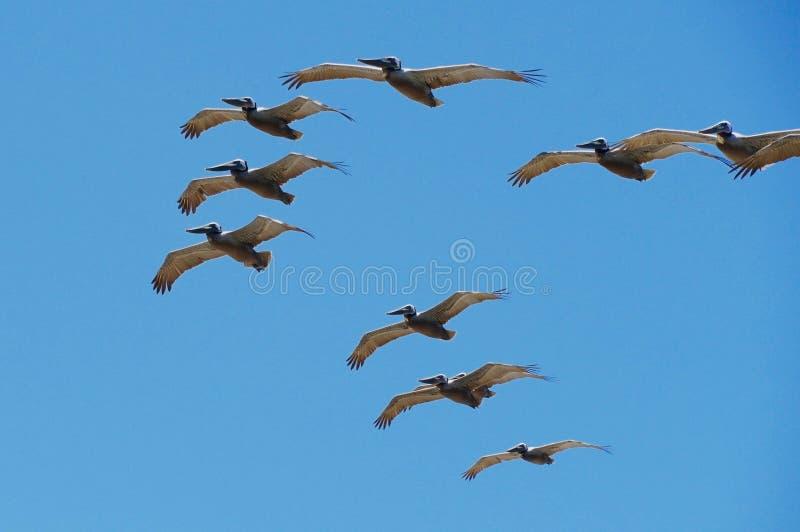 Pélicans volant dans Uniison photos libres de droits