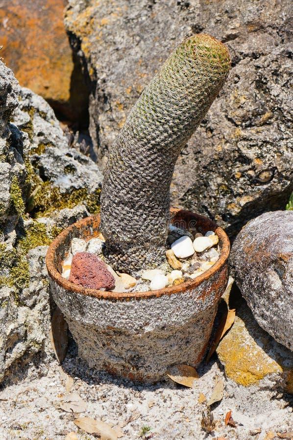 Pénis (coq) comme le cactus (mamillosa d'Echinopsis) la Floride rentrée image libre de droits