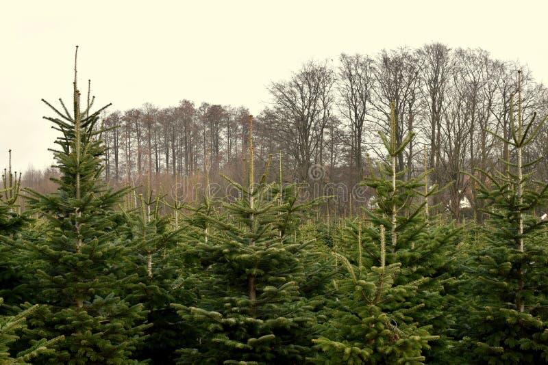 Pépinière d'usine - arbres de Noël photo libre de droits
