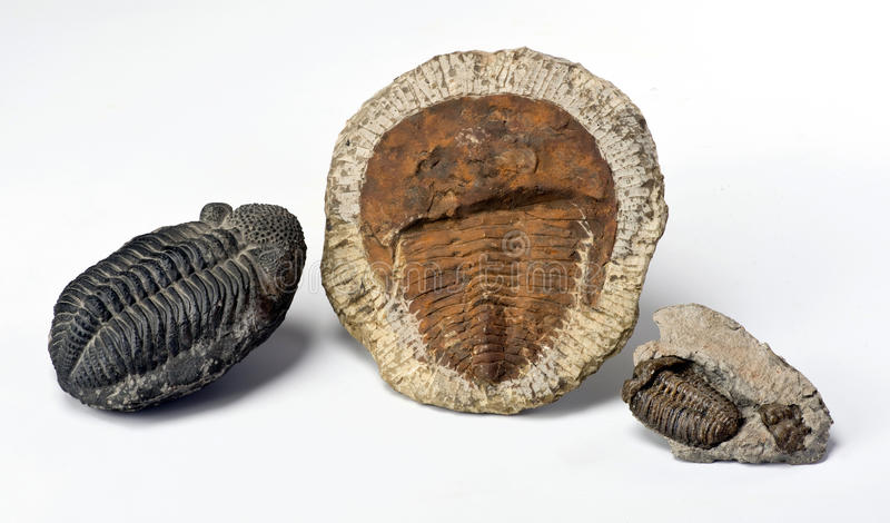 Période cambrienne Trilobites photo stock